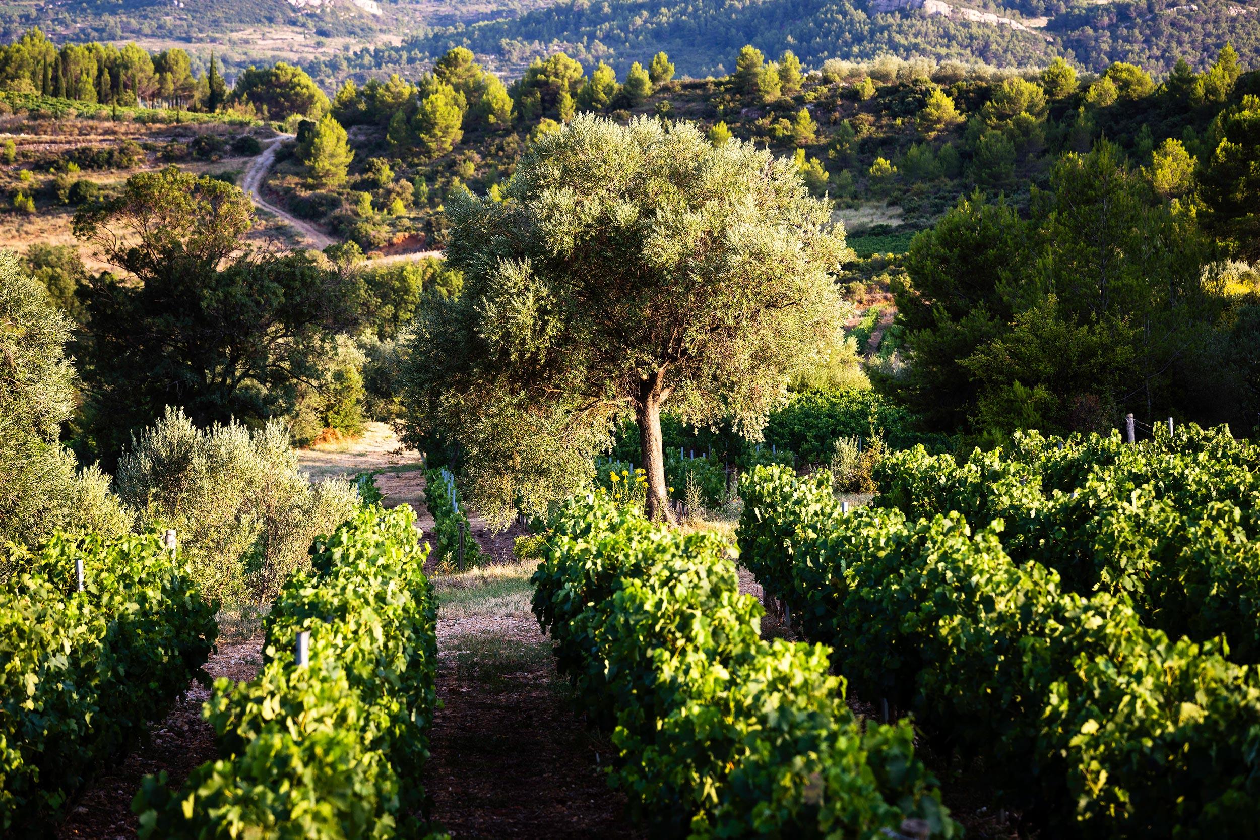 Saint-Chinian | Vignes