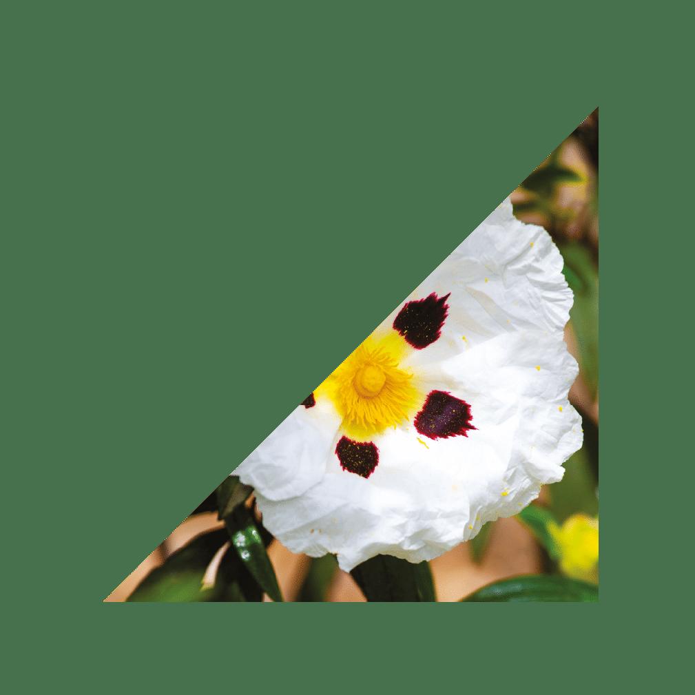 image schiste saint chinian fleurs